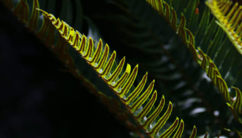 Abstract of Sword Fern