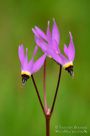 Flower of Broad Leafed Shooting Star
